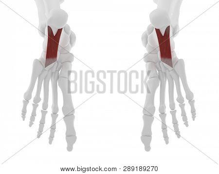 3d rendered medically accurate illustration of the Quadratus Plantae