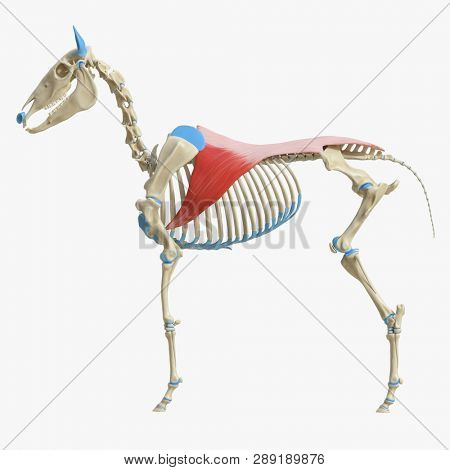 3d rendered medically accurate illustration of the equine muscle anatomy -  Latissimus Dorsi