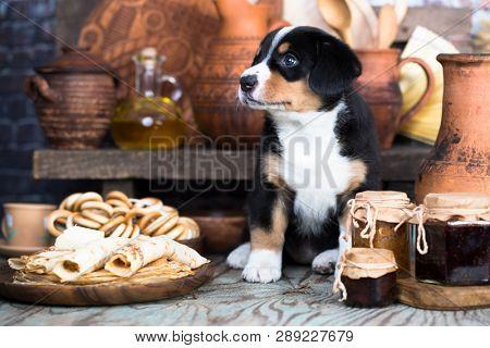 Entlebucher Mountain Dog puppy  and food