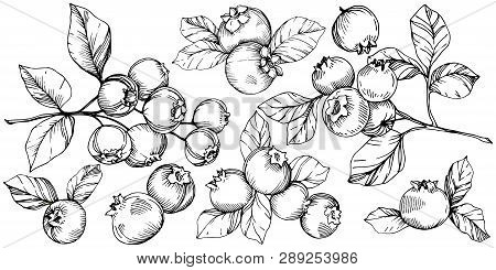 Vector Blueberry Black And White Engraved Ink Art. Berries And Leaves. Isolated Blueberry Illustrati