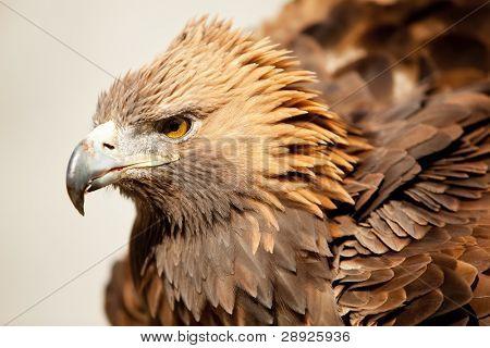 Golden eagle staring at camera.