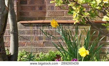 Spring Daffodils, Narcissus, Flowering By A Wall In Harlow, Essex