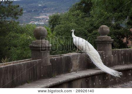 Elegant white peacock looking far