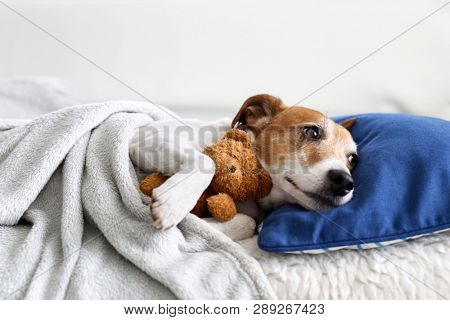 Sleeping jack russel terrier puppy dog with teddy bear toy