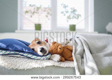 Sleeping jack russel terrier puppy with teddy bear toy in bedroom