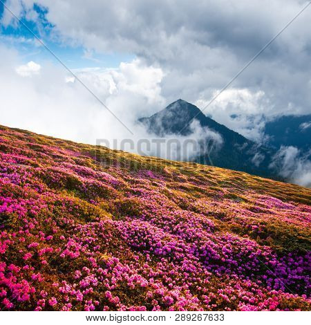Dramatic unusual scene with rhododendrons bloom in a beautiful location in the Carpathian mountains. Blooming flowers in the foggy mountains meadow