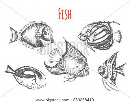 Vector Hand Drawn Sketch Card With Aquarium Fish. Discus, Scalaria, Zanclidae, Paracanthurus Hepatus