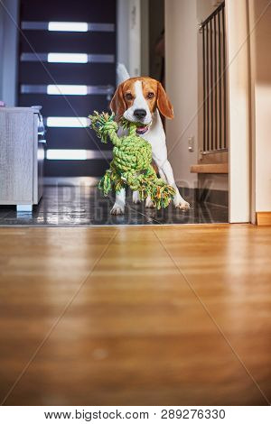 Dog beagle purebred running with a green rope in house in living room. Fetching a toy indoors poster
