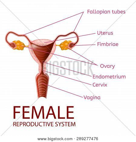 female reproductive system gynecological medical banner  womans anatomy   uterus and ovaries scheme with all important parts labeled