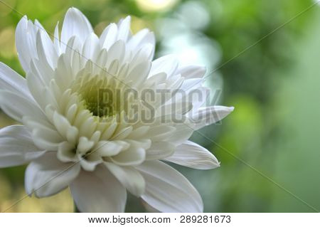 White Chrysanthemums Flower, Chrysanthemum Sp., From Thailand