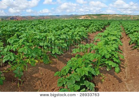 Potato field with young potato plants