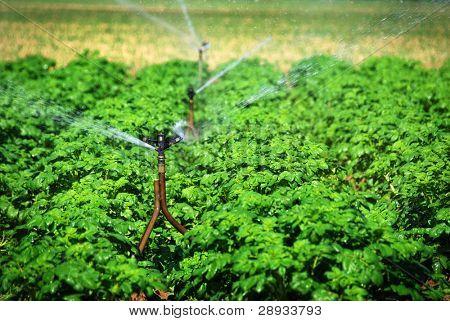sprinklers watering a potato field