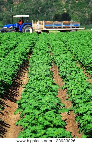 Healthy green potato field with tractor and trailer working in the background