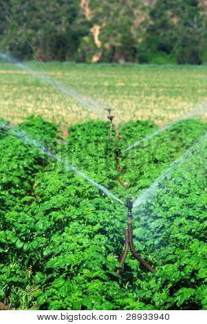 irrigation system working in a potato field