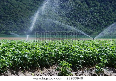 irrigation in a potato field