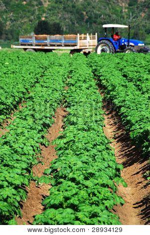 potato crop on the field
