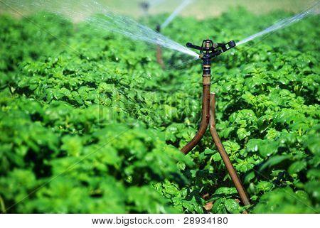 irrigation sprinklers working in a potato field