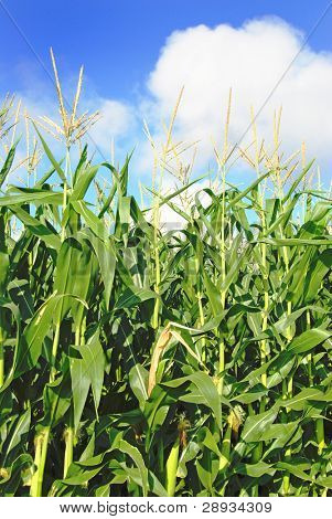 Young green maize plants in a field
