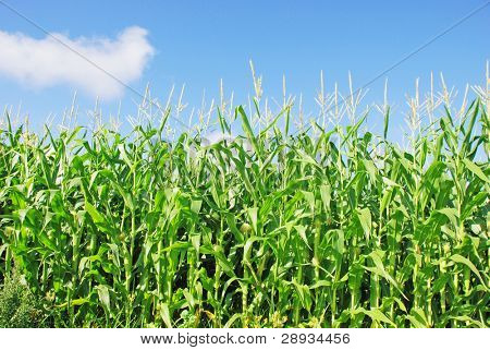 Young maize against blue sky