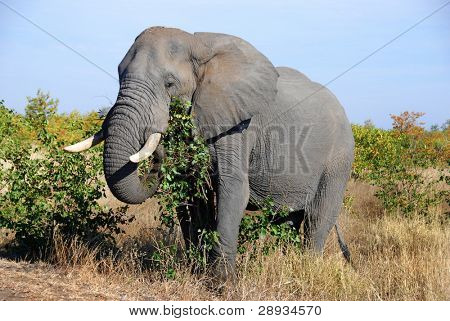 Mature elephant in it's natural environment poster