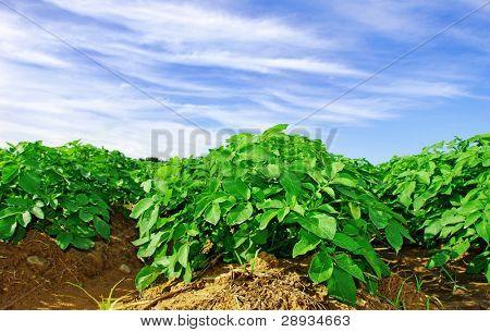 Potato plants in a potato field