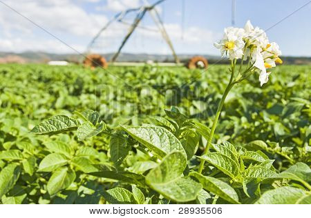 Potato plant in the flower stage with irrigation system in the background