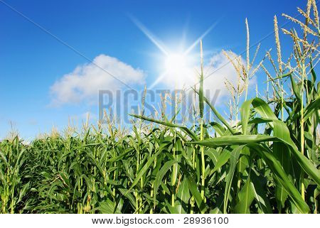 Maize on the field with sun and sky in the background