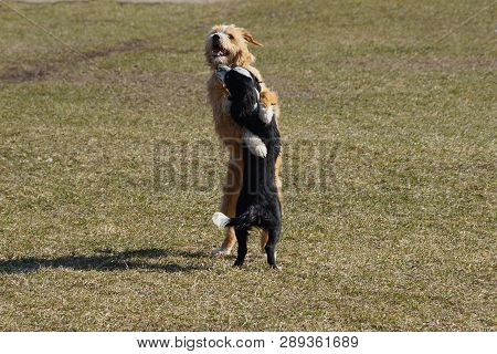Two Dogs Play And Cuddle On The Green Grass Of The Lawn