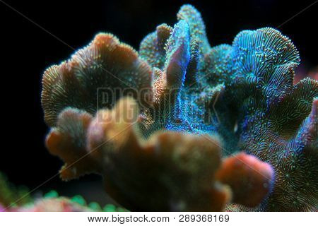 Pavona Coral Sps Macro Shoot - Pavona Decussatus