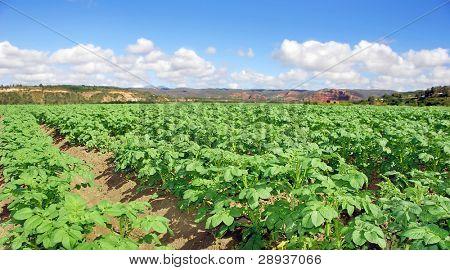 Potato field on a farm