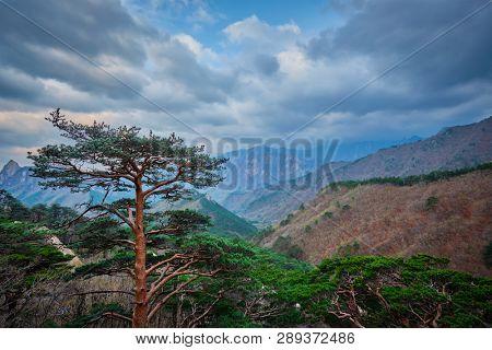 Pine tree in Seoraksan National Park in stormy weather, South Korea
