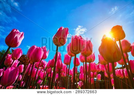 Blooming pink tulips against blue sky background with sun from low vantage point. Netherlands.