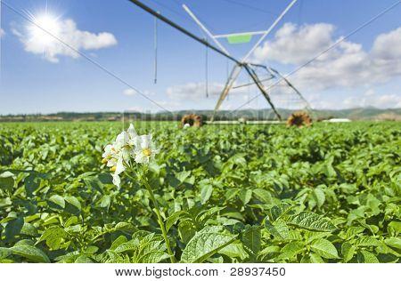 Modern irrigation system watering a potato field - focus on the potato plant flower