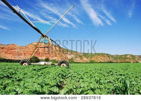 Healthy green potato field