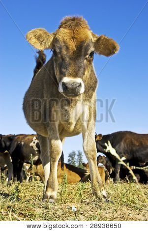 Cute young cow looking curiously  at the photographer