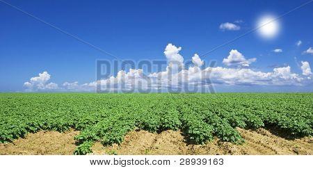 Green potato field