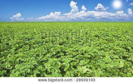 Beautiful healthy green potato field with sky and sun