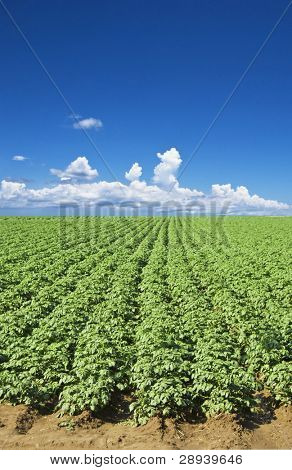 a Potato field with sky and clouds in the background