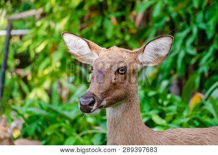 Eld's Deer (rucervus Eldii Siamensis) Against Natural Green Background