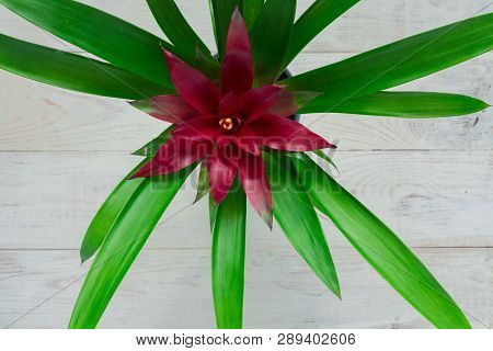 Top View Of Red Bromeliad (bromeliaceae) Tropical Flower On White Wooden Background