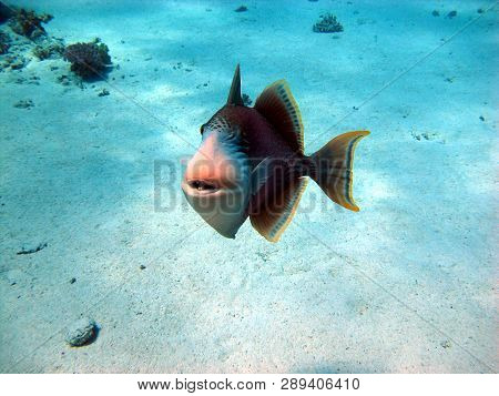 The Triggerfish Is A Beautiful Fish With An Unusual Body Structure. The Fish Of The Triggerfish Are