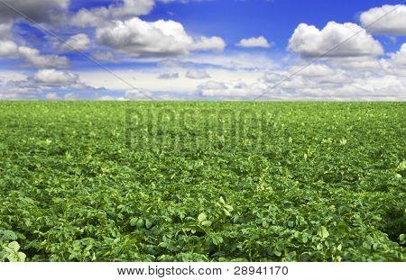 a Potato field with beautiful cloudy sky