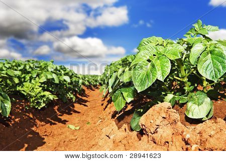 Close up of a potato field with sky and clouds