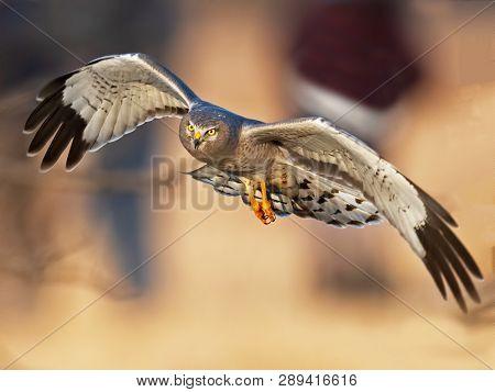Male Northern Harrier Aka Gray Ghost In Flight