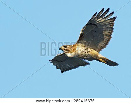 A Red-tailed Hawk In Flight Blue Sky