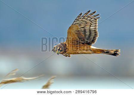 A Northern Harrier Hawk In Flight Flying