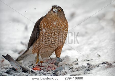 A Sharp-shinned Hawk Having A Meal In The Snow