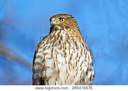 A Close Up Portrait Of A Coopers Hawk