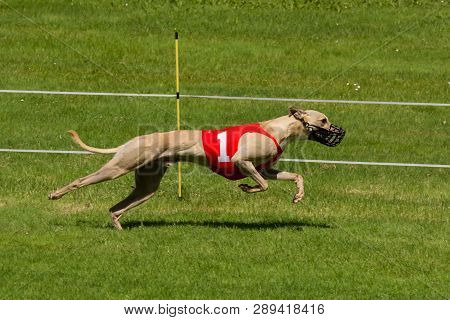 Light Colored Greyhound Racing Wearing Number One