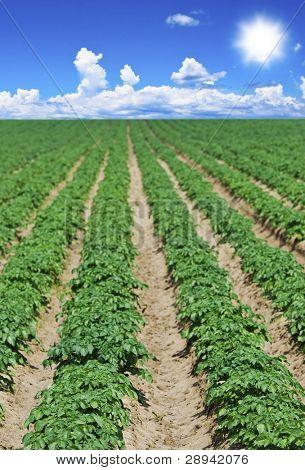 Potato field with sky and sun